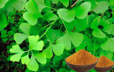 Natural Nutrition Ginkgo Biloba For Helping Improve Memory CEP,GACP Certificated