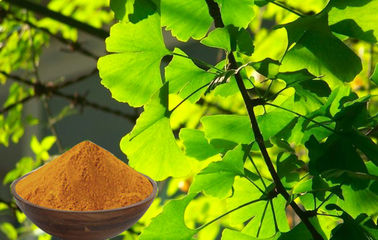 CONBA Ginkgo Biloba Powder , Ginkgo Powder For Food Supplement CHP2015
