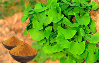 Anti Oxidant Ginkgo Biloba Extract Powder GMP,Kosher,Halal Certificated CHP2015